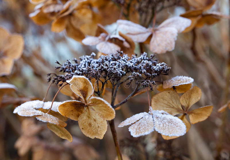 Frost on Hydrangea. Frost on dead Hydrangea flower during winter in England royalty free stock photo