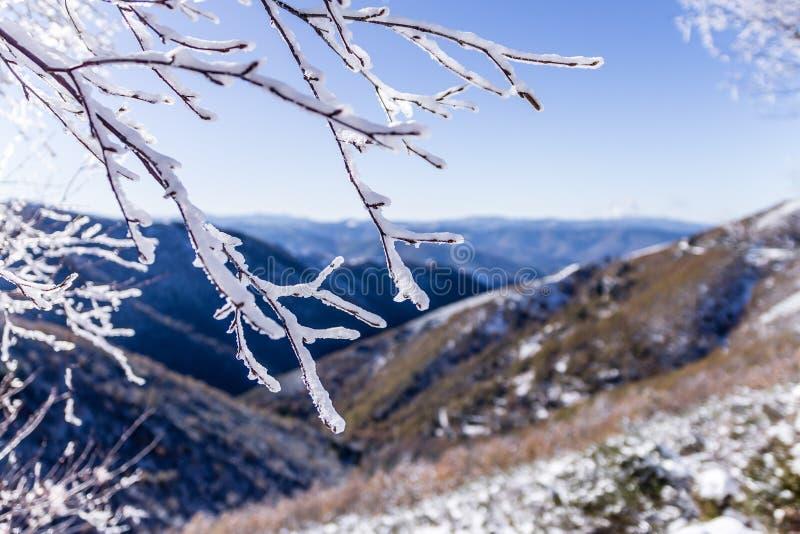 Frost i en filial royaltyfria foton