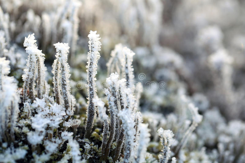 Frost and Ice on Cladonia Deformis Lichen stock photography
