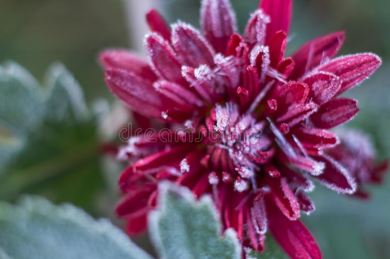 Frost frost icicles first frost on flowers late autumn chrysanthemum flower close up. Frost frost icicles first frost frost on flowers late autumn chrysanthemum royalty free stock photography