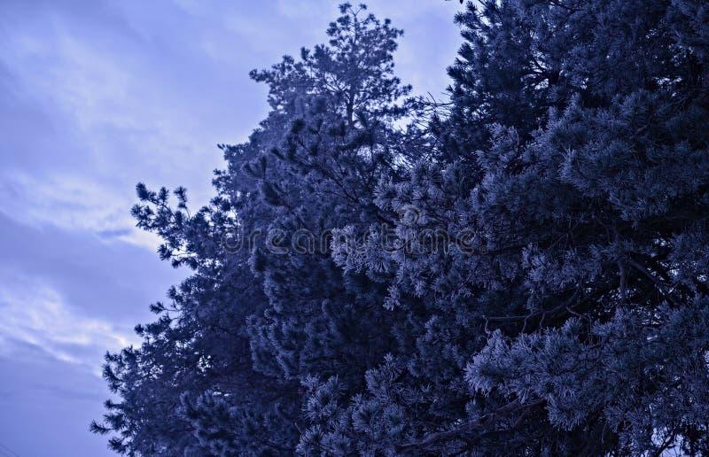 Frost-Kiefer lizenzfreies stockfoto