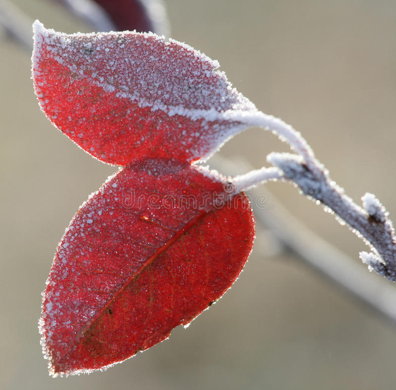 Frost Leaves Stock Image