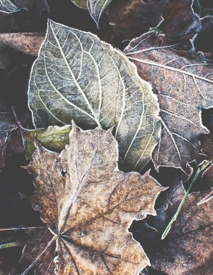 Frost Leaves. Colorful foliage covered with the first frost stock photo