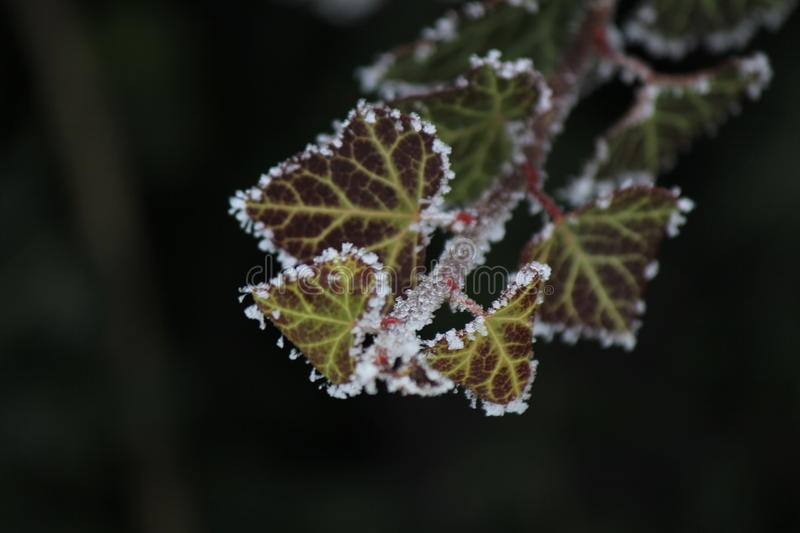 Frost on leaves.Very good image. Winter, Amazingly good image royalty free stock photography