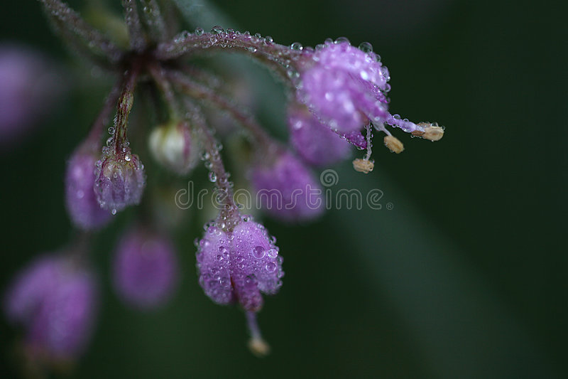 Frost melting on purple flowers. Frost condesation on tiny purple wild flowers royalty free stock images