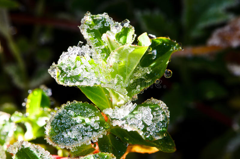 Frost in morning. Natural frost on the leaves stock images