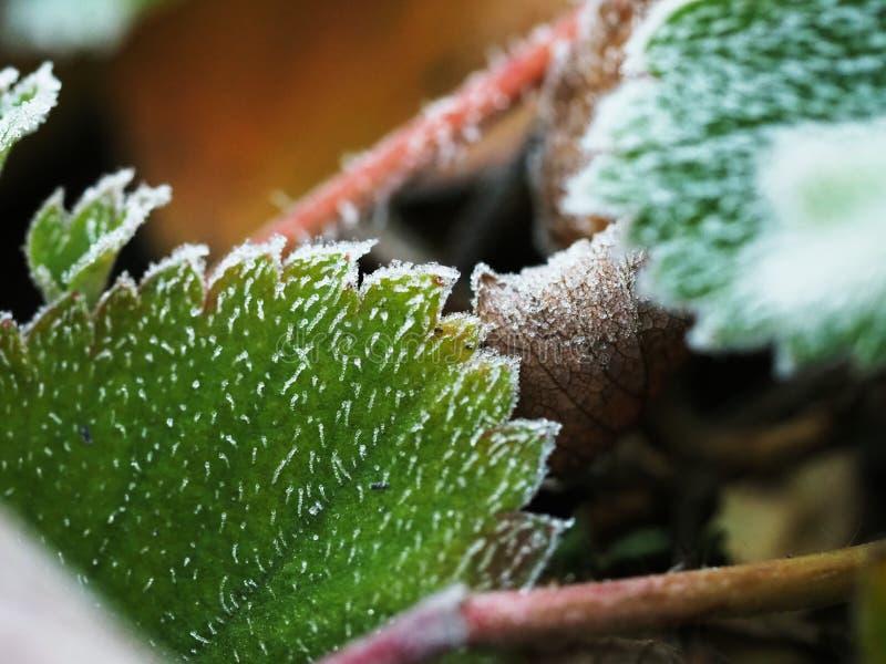 Frost nas folhas da morango fotografia de stock royalty free