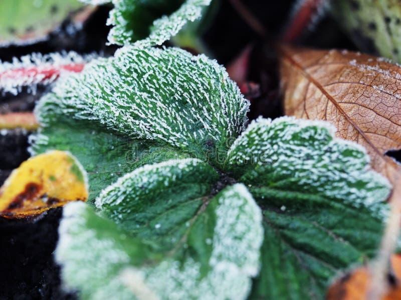 Frost nas folhas da morango imagem de stock royalty free