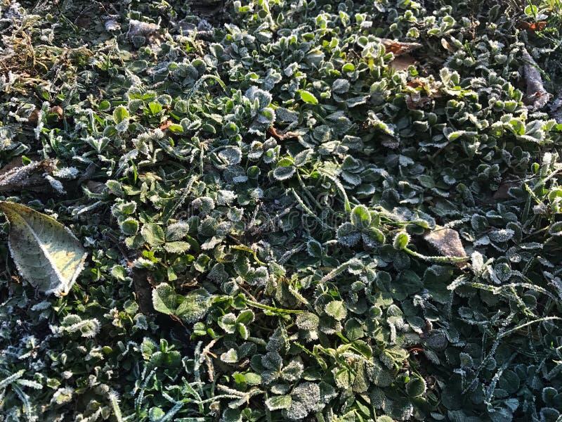 Frost nas plantas fotos de stock