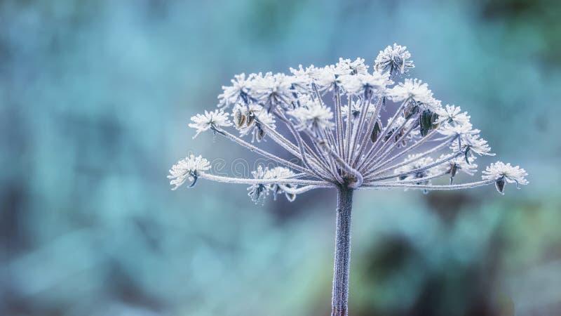 Frost no agrião de inverno fotos de stock