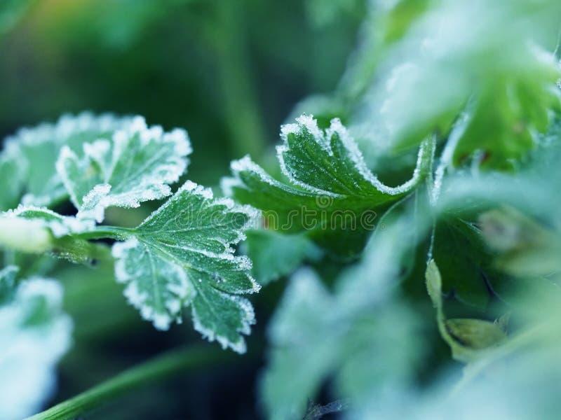 Frost no verde da salsa fotos de stock