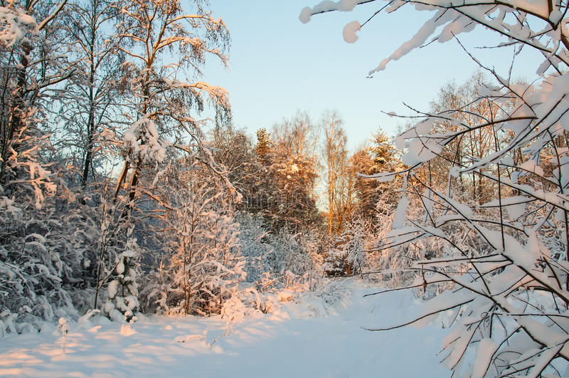 Frost och insnöat skogen fotografering för bildbyråer