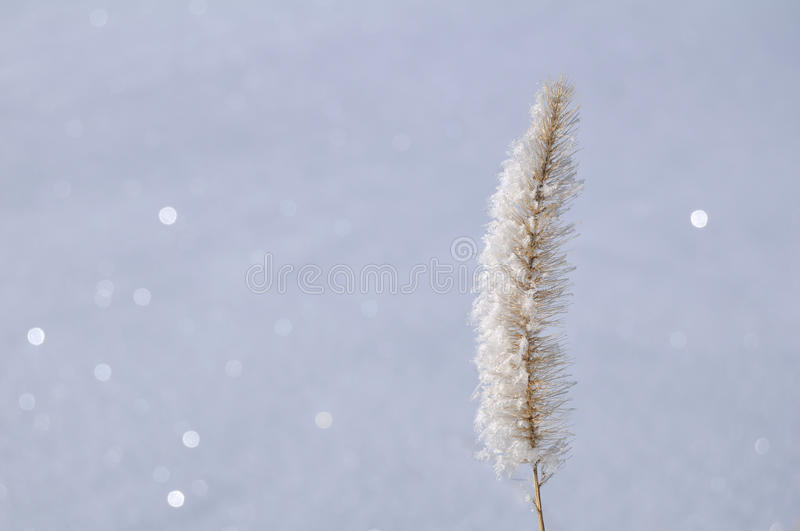 Download Frost on Ornamental Grass stock image. Image of outside - 16520861