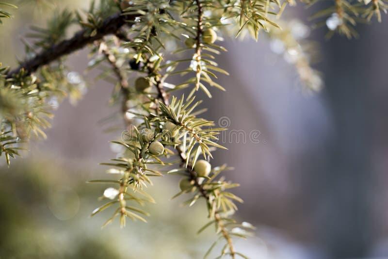 Frost ou neige sur les branches d'un arbuste de genévrier photos libres de droits