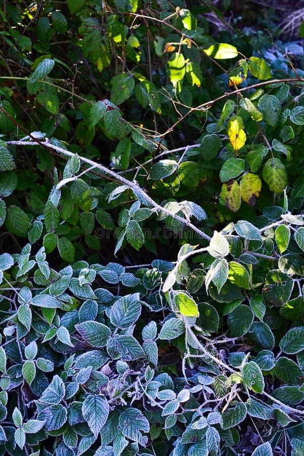 Frost på de gröna sidorna i morgonen i vintersäsong arkivfoton