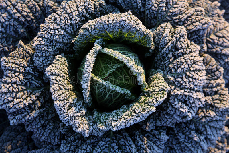 Frost på savojkål arkivbilder