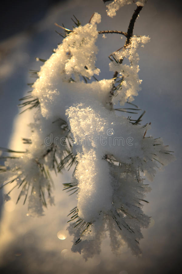 Download Frost on Pine stock image. Image of concepts, leaf, pine - 16776001