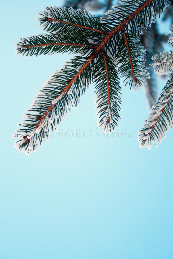 Download Frost on Pine stock image. Image of nature, outdoor, cold - 18107449