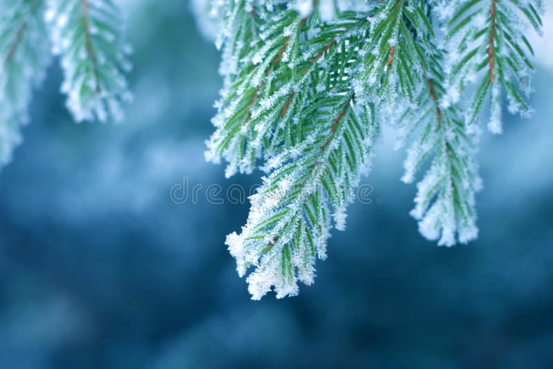 Frost on Pine. Pine tree covered with frost, blue toned stock image