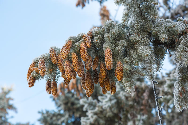 Frost on Pine Tree royalty free stock photo