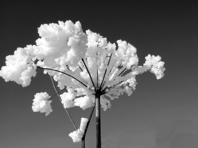 Frost Planterar Whit Royaltyfria Foton