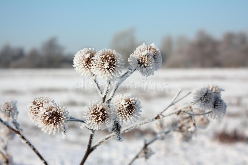 Frost on plants. In winter royalty free stock photography