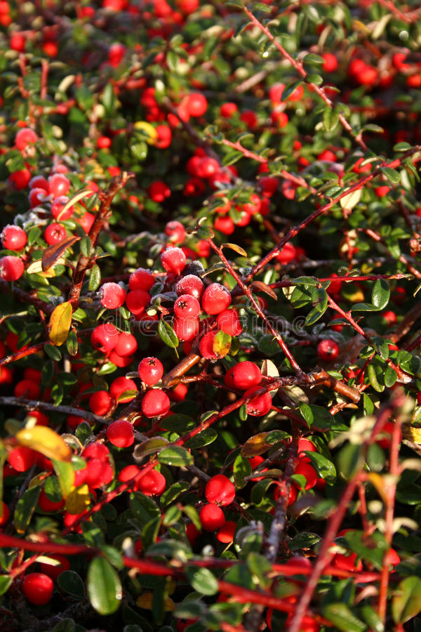 Frost on pyracantha. Frost on red berries of pyracantha bush stock photography