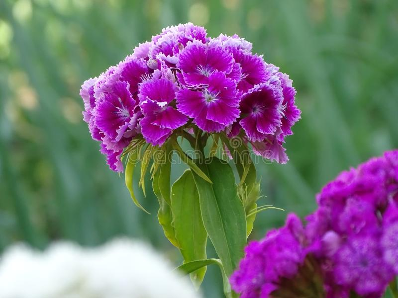 Pale purple Turkish carnation with white border of petals. Frost-resistant biennial plant.Landscaping of Park areas.The second name- ` bearded carnation.`Pale royalty free stock images