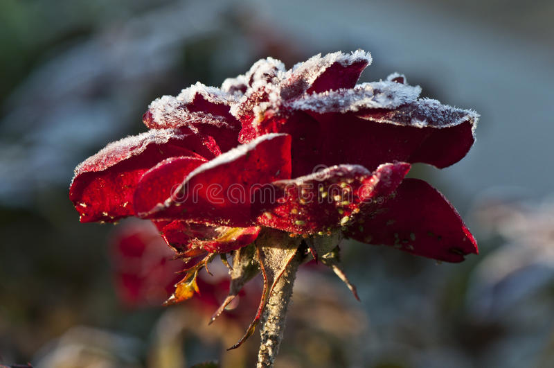 Frost on Rose. Red Rose Covered with Frost - Closeup stock photography