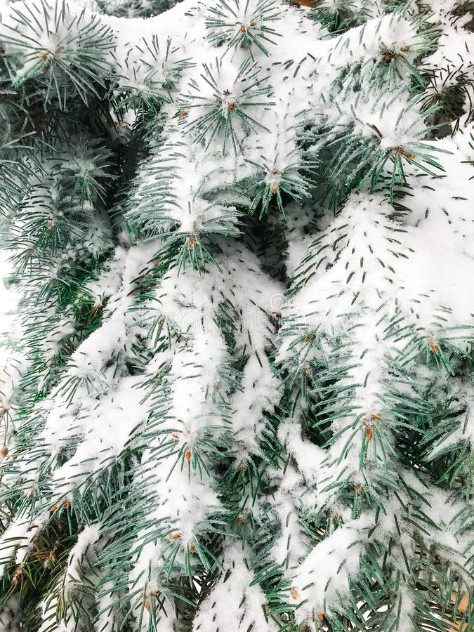 Frost and snow on a branch of pine tree. Morning strong frost and white snow on a branch of pine tree in the park stock image