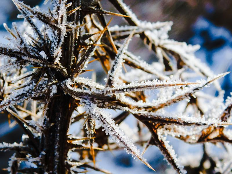 Frost and snow on a burr plant closeup royalty free stock photos