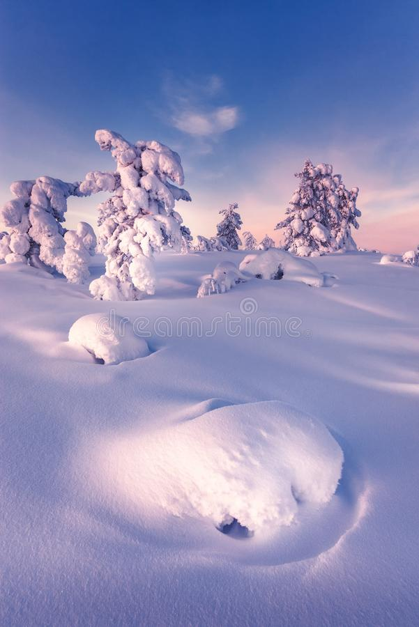 Winter in the taiga forest. Frost and snow cover everything in the taiga forest in Lapland. Way above the polar circle the days are so cold and still the snow stock photo