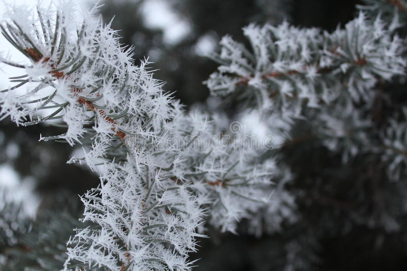 Frost on a spruce branch royalty free stock images