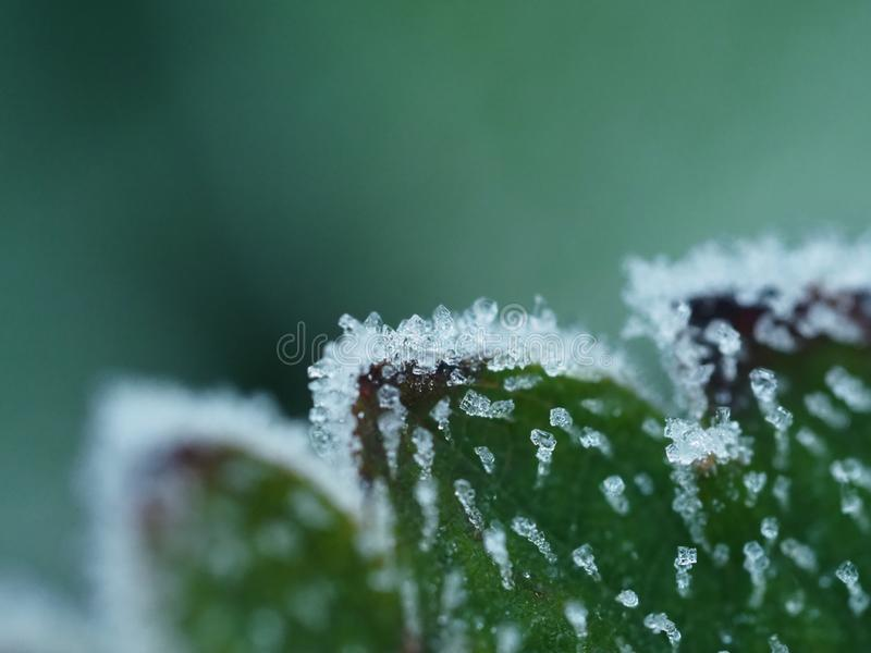 Frost on strawberry leave royalty free stock photo