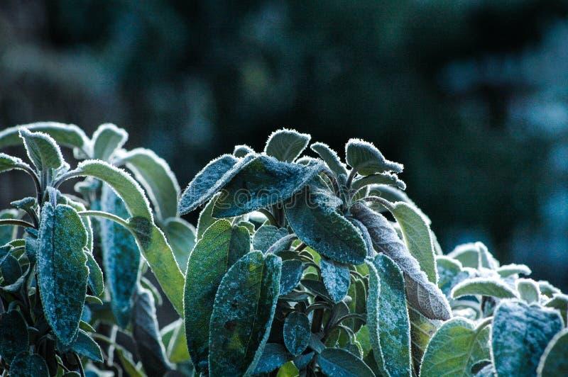 Frost sur la sauge photo stock