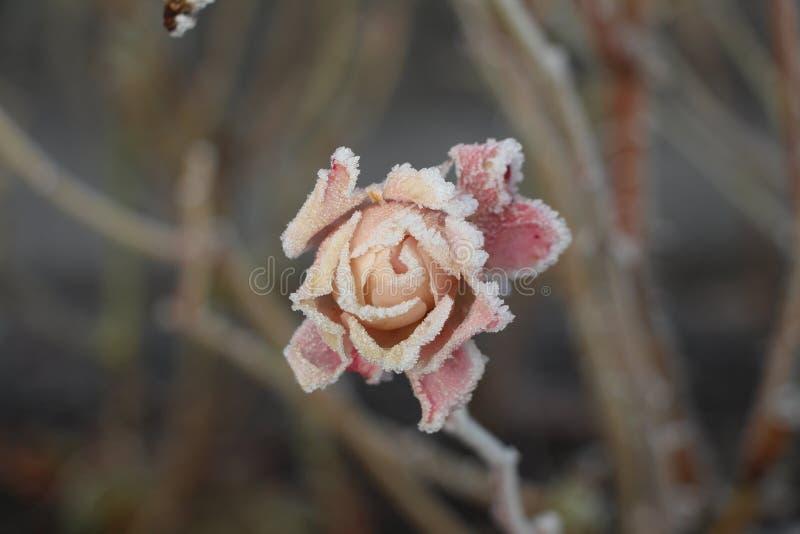 Frost täckt rosa huvud royaltyfria bilder