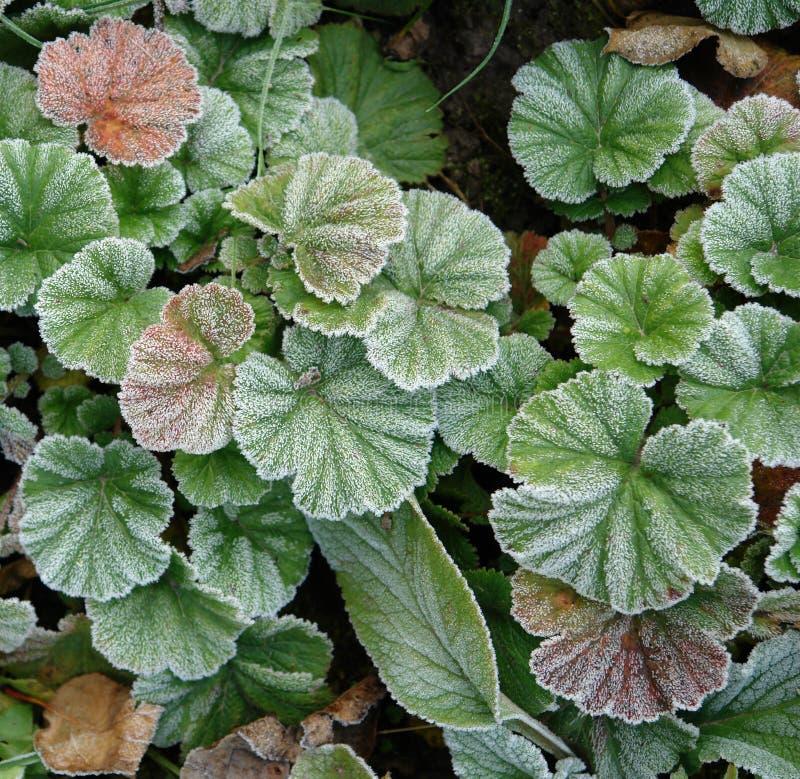 Frost umfasste Blätter Beschaffenheit lizenzfreie stockfotos