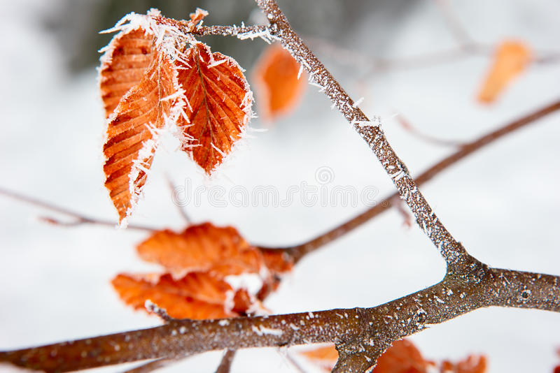 Frost. Yellow oak leaves in the snow and frost royalty free stock photo