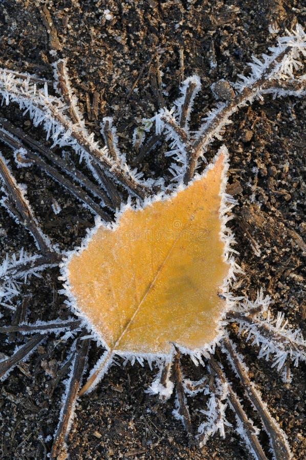 frostad leaf royaltyfri foto