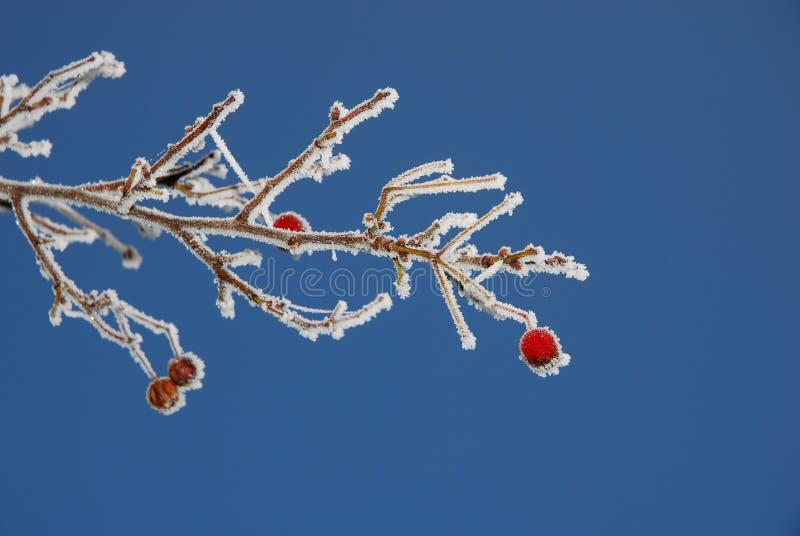 Frostade Bär Royaltyfria Bilder