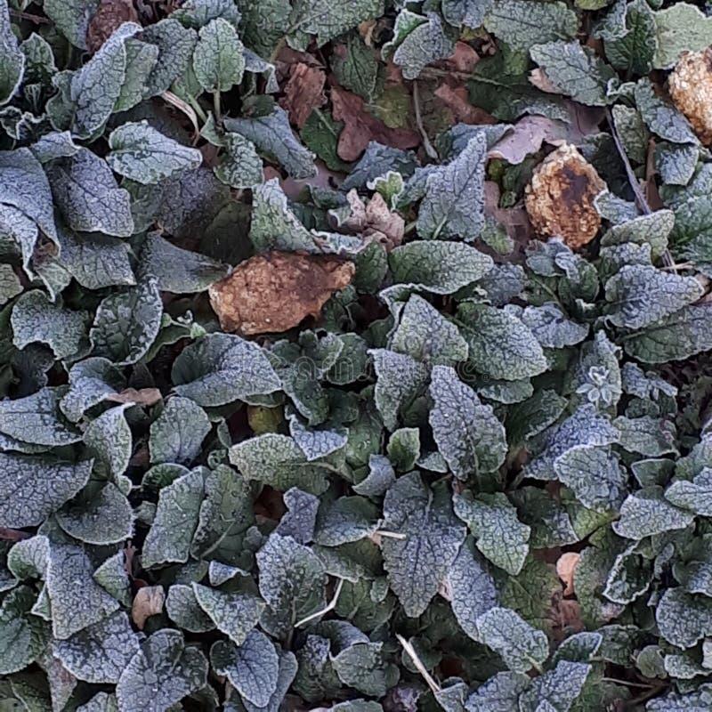 frostade leaves arkivbilder