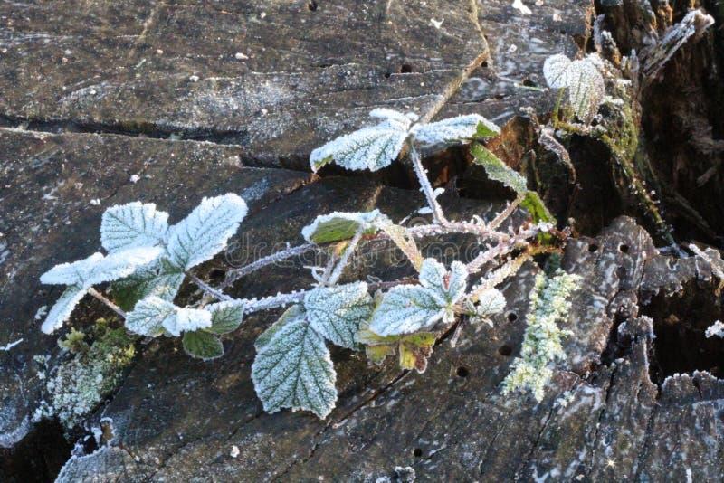frostade leaves royaltyfri bild