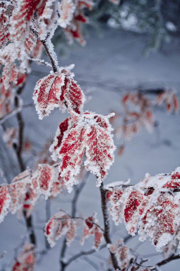 Download Frosted stock image. Image of bush, winter, macro, frosted - 18623505