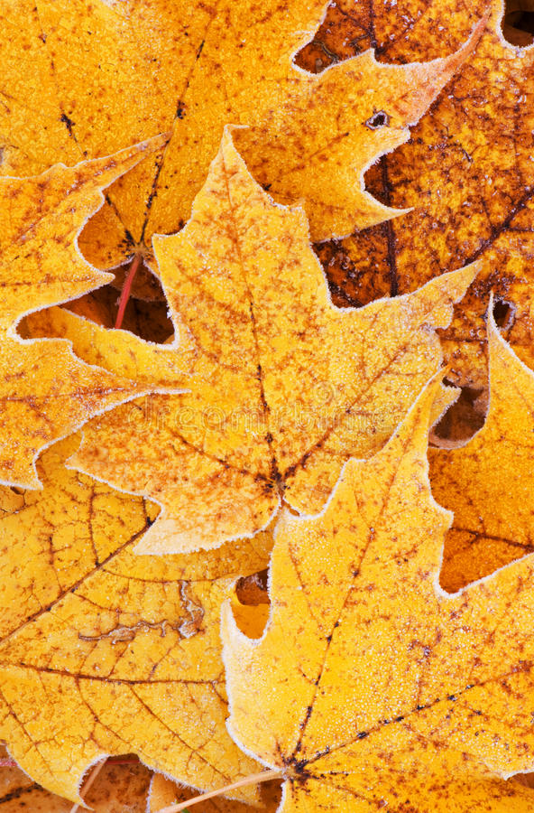 Frosted Autumn Maple Leaves Royalty Free Stock Photography
