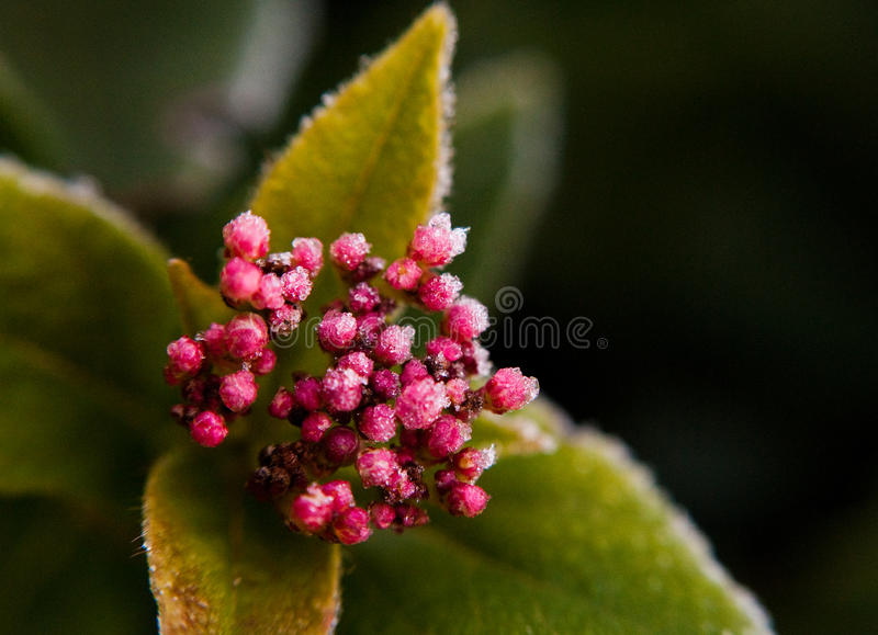 Download Frosted Berries stock image. Image of leaves, iced, cold - 14326183