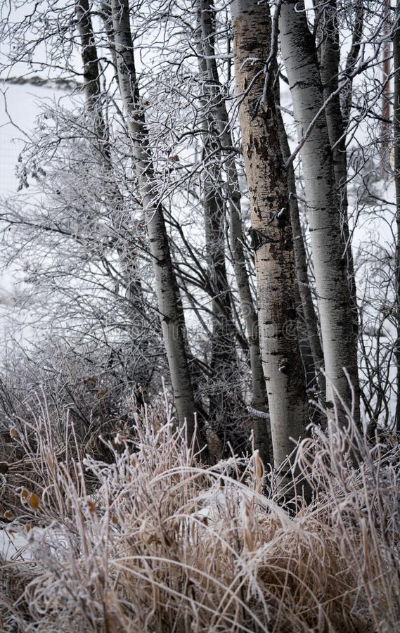 Frosted Birch trees and grasses. Silvery frosted birch trees and golden frozen grasses in this winter scene showing a cold wintery day and the beautiful royalty free stock image