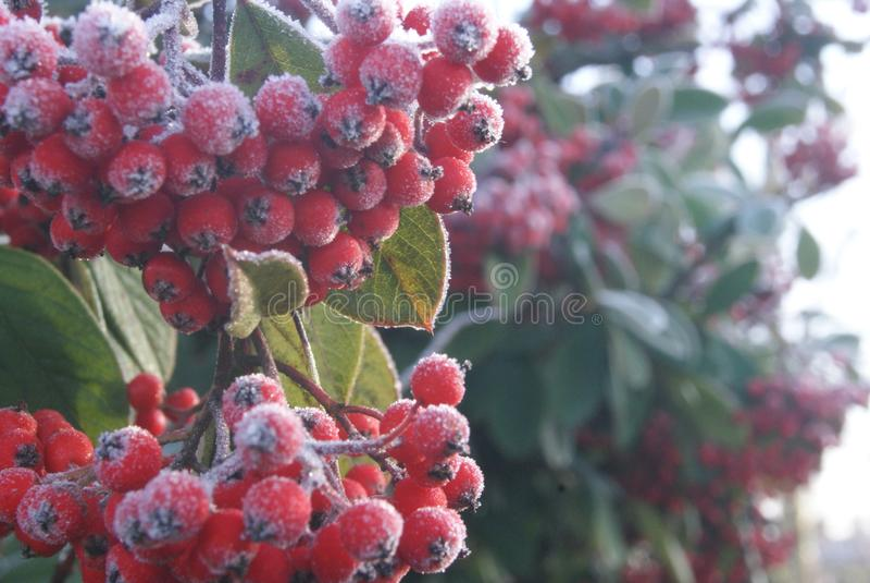 Frosted czerwone jagody na lodowatym zima ranku fotografia stock