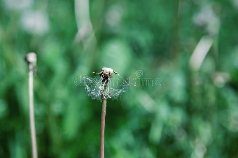 Frosted dandelion close up on a background of green grass royalty free stock photos
