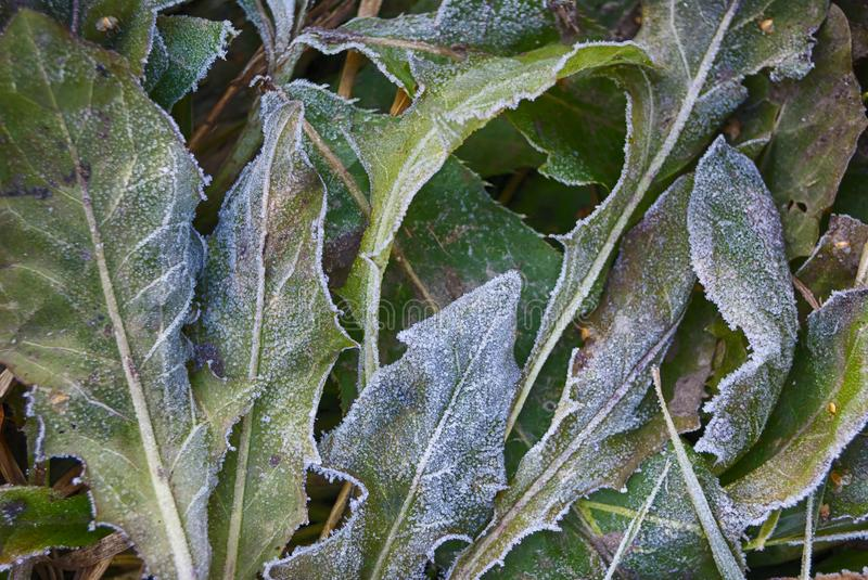 Frosted dandelion leaves autumn cold day closeup stock photo