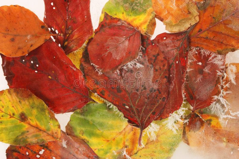 Frosted Fall Leaves Stock Photography